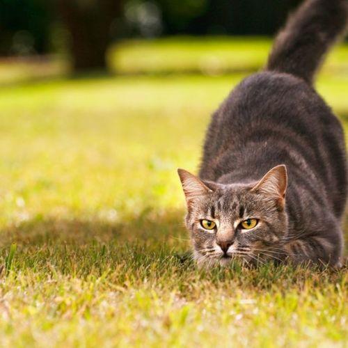 Polujący kot na trawniku