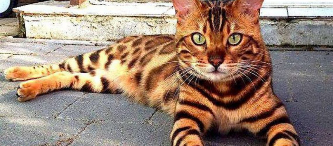 Kot bengalski leżący